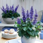 Salvia x hybrida 'Mysty'