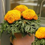 Tagetes erecta 'Little Duck Orange'