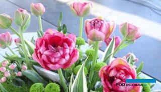 Tulipan 'Irena Szewińska' - nowa odmiana, która miała oficjalną premierę podczas Międzynarodowych Targów Tulipanów 2018 w Chrzypsku Wielkim, fot. A. Cecot