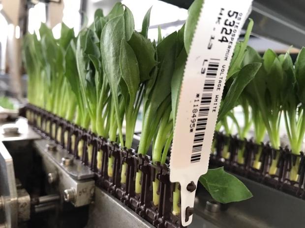 Biodegradowalne taśmy, do których wkładane są sadzonki liściowe, mieszczą 34 lub 51 sadzonek