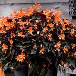 Jedna z begonii oferowanych pod marką Squad, którą wprowadza na rynek firma Florensis