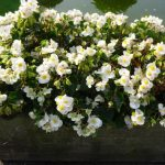 Begonia Tophat 'White' z firmy Syngenta