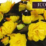 Begonia_I´CONIA Portofino Yellow_DummenOrange_