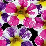 CandyShop™ Pixie Stix Mix calibrachoa_Westhoff