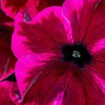Petunia Crazytunia 'Cosmic Purple' z firmy Westhoff