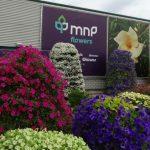 MNP Flowers_Surfinia_FlowerTrials 2018