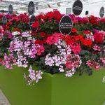 Pelargonie_Calliope_Syngenta_FlowerTrials-2018