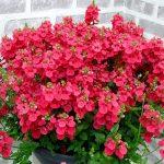 Diascia Morning Mist Basket Red_Cohen