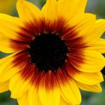 Helianthus Sunbelievable™ Brown Eyed Girl_Thompson-and-Morgan_