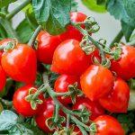 Patio Tomato Sweet Valentines_HemGenetics
