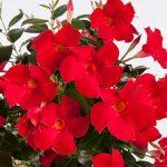 Mandevilla Sundaville® MiMi Red_MNP Flowers