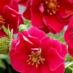 Truskawka_Summer Breeze Rose_ABZ Seeds