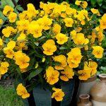 Viola wittrockiana_Freefall® XL_Floranova