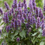 Agastache Beelicious® Purple