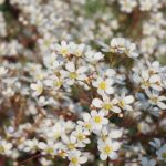 Saxifraga ICEQUEEN - kwiatostan