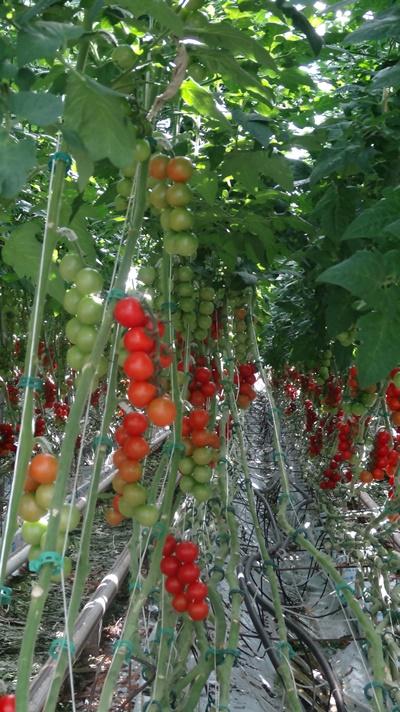 Pomidor Annaisa F1