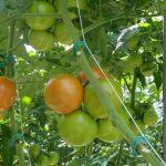 Pomidor Barteza F1