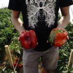 Owoce papryki jednolicie wybarwione w wyniku stosowania preparatu Blush; z prawej owoce kontrolne