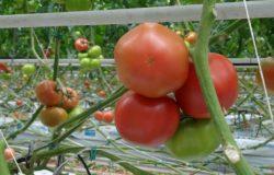Nowe pomidory malinowe z Zielonej Łąki