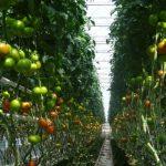 pomidor Edamso F1