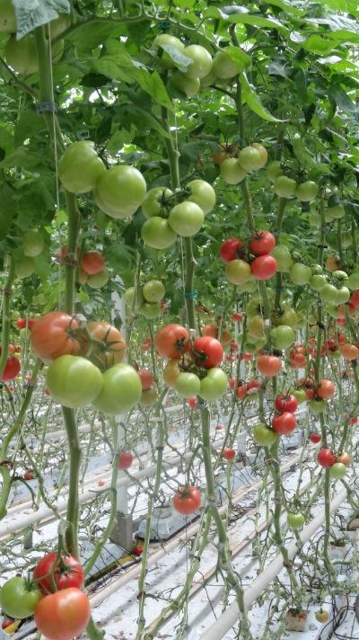 Pomidor malinowy Polorosa F1