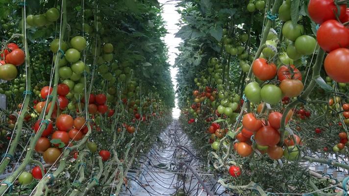 Pomidor Milaneza F1