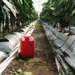 W uprawie w podłożu kokosowym ważna jest kontrola ilości pożywki wypływającej z kapilar, a także kontrola przelewu