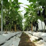 Plonowanie oberżyny w uprawie w podłożu kokosowym
