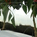 Papryka uprawiana na podłożu kokosowym ma dobrze rozwinięty system korzeniowy
