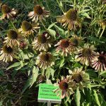 Echinacea purpurea 'Green Twister'_August 2018