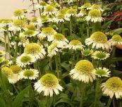 """Echinacea Delicious Nugat - jedna z bylin zgłoszonych do tegorocznego Konkursu Roślin - Nowości, towarzyszącego wystawie """"Zieleń to Życie"""", fot. A. Cecot"""