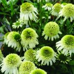 """Konkurs Roślin - Nowości, towarzyszący wystawie """"Zieleń to Życie 2018""""_Echinacea 'Delicious Nougat'"""
