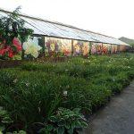 Firma Barcikowscy ma w asortymencie ok. 500 odmian liliowców