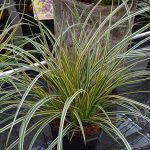 Carex morrowii 'Everglow' EVERCOLOR