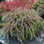 Calluna vulgaris 'Rote-Janina' (z grupy Gardengirls