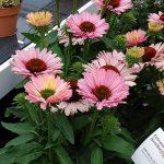 Echinacea SUNSEEKERS SALMON