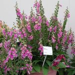 Digitalis 'Pink Panther