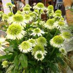 Echinacea 'Delicious Nougat