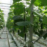 Rośliny prowadzone są w systemie wysokiego drutu