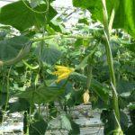 W górnej części roślin pozostawiane są pędy boczne – są one skrócone i zakończone 2 lub 3 owocami