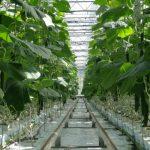 Pielęgnacja szybko rosnących roślin odmiany uprawianej w cyklu jesiennym była bardzo pracochłonna