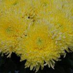 Chryzantema 'Magnum Yellow'