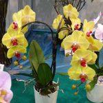 """Falenopsis - okaz tworzący """"parasol"""" - nagrodzony medalem koncept firmy JMP Flowers"""
