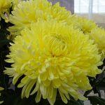 chryzantema_Magnum Yellow