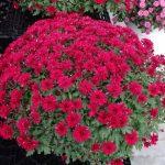 chryzantema_Grapeberry-Red