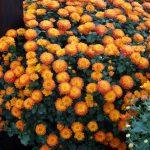 chryzantema_Gigi Orange