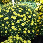 chryzantema_Boston Yellow
