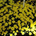 chryzantema_Fazana-Jogger-Yellow
