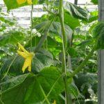 Regularne kwitnienie i zawiązywanie ogórków na pędzie głównym