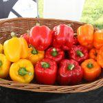 Różnobarwne papryki typu blok z asortymentu Monsanto
